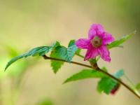 Salmonberry_blossom